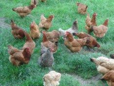 Monia's Chickens